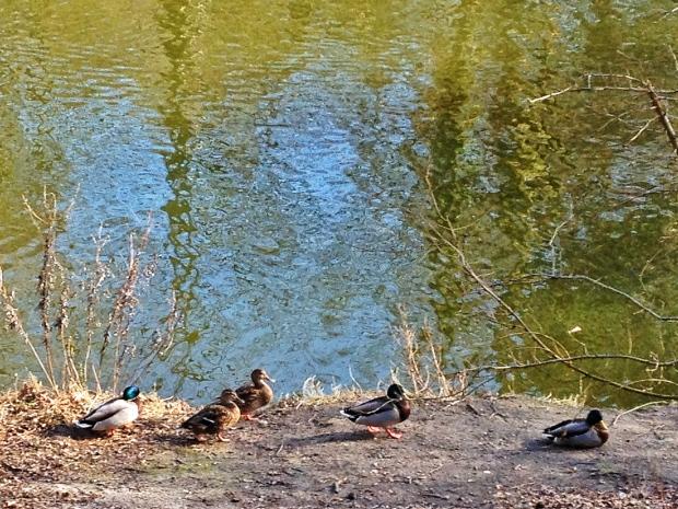 Lots of ducks around here.