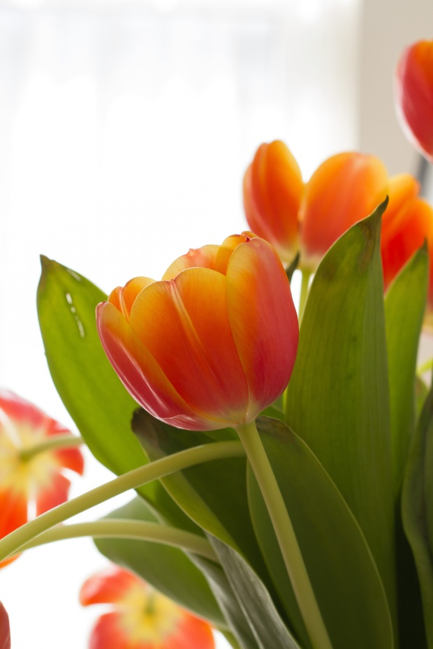 Some tulips I had previously purchased.
